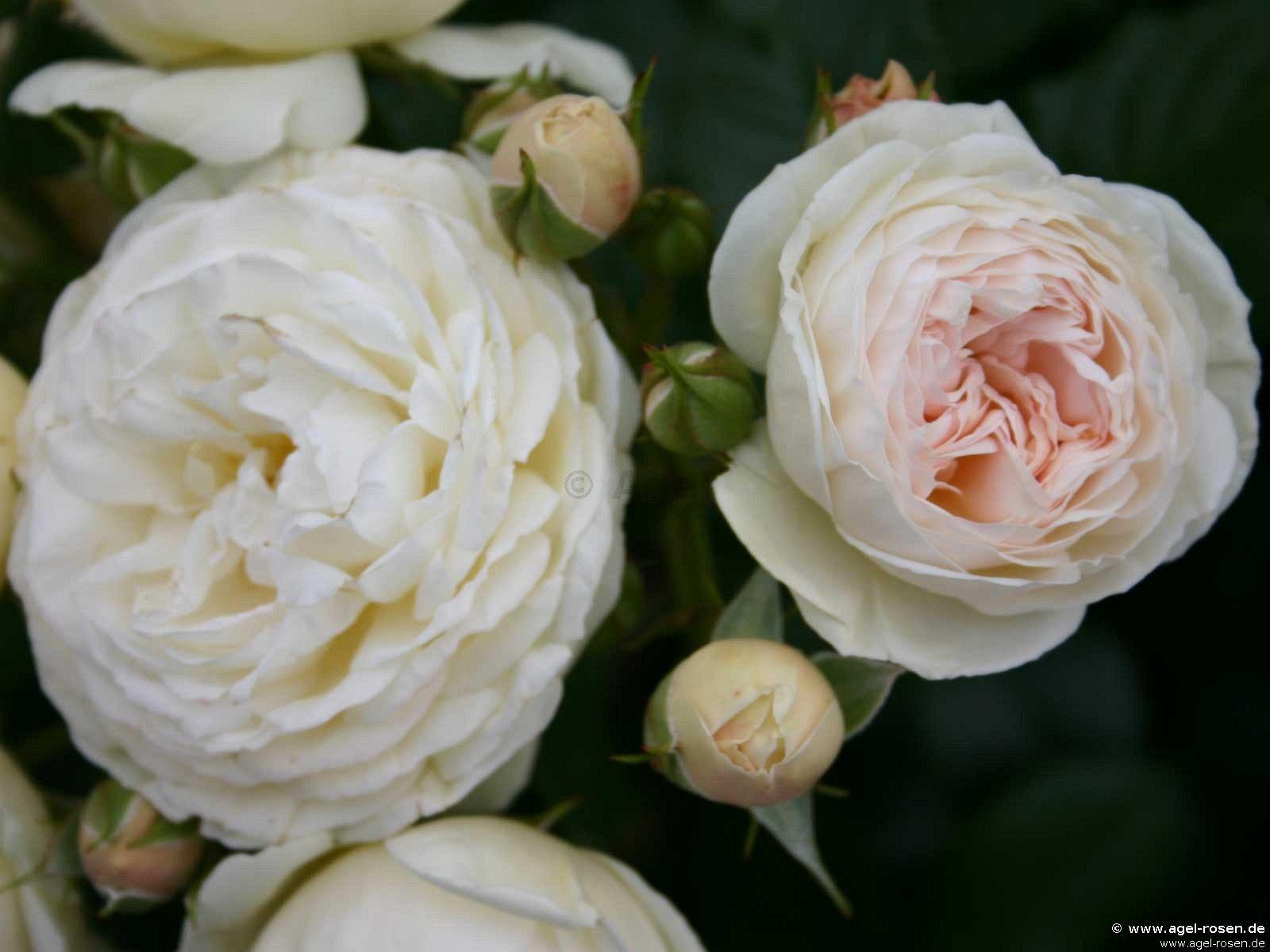 rose artemis online kaufen agel rosen 8 liter topf. Black Bedroom Furniture Sets. Home Design Ideas