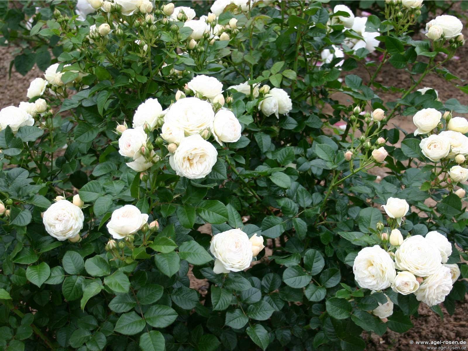 rose artemis online kaufen agel rosen 1 5 liter. Black Bedroom Furniture Sets. Home Design Ideas