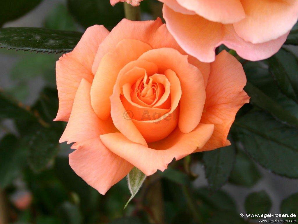 belvedere strauchrose kaufen bei agel rosen. Black Bedroom Furniture Sets. Home Design Ideas