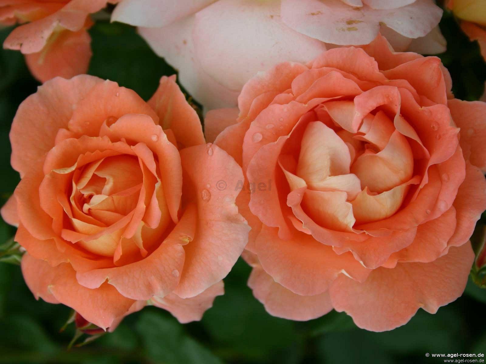 bonita renaissance strauchrose kaufen bei agel rosen. Black Bedroom Furniture Sets. Home Design Ideas