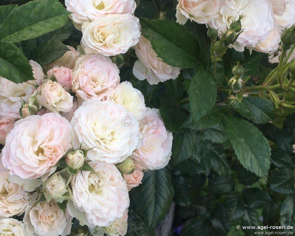bouquet parfait strauchrose kaufen bei agel rosen. Black Bedroom Furniture Sets. Home Design Ideas