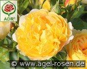 adr rosen online kaufen agel rosen gartenrosen. Black Bedroom Furniture Sets. Home Design Ideas