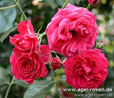 elmshorn strauchrose kaufen bei agel rosen. Black Bedroom Furniture Sets. Home Design Ideas