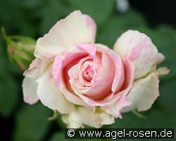 Malerrose 'Claude Monet'