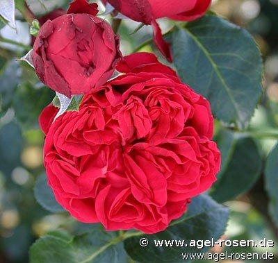 red eden rose strauchrose kaufen bei agel rosen. Black Bedroom Furniture Sets. Home Design Ideas