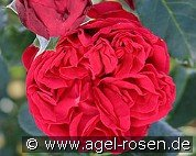 Red Eden Rose (Strauchrose)