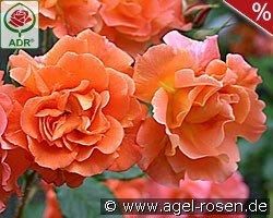 rosen kaufen agel rosen online shop. Black Bedroom Furniture Sets. Home Design Ideas