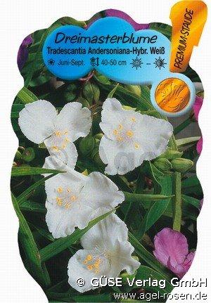 dreimasterblume bei agel rosen online kaufen tradescantia andersoniana hybride wei stauden. Black Bedroom Furniture Sets. Home Design Ideas