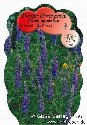 blauer ehrenpreis bei agel rosen online kaufen veronica spicata blau stauden f r beete. Black Bedroom Furniture Sets. Home Design Ideas