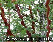 Rosa omeiensis pteracantha (Wild Rose)