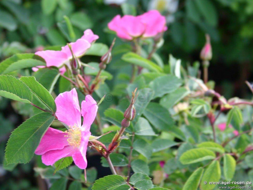 buy rose rosa pendulina online at agel rosen 3 liter pot container roses. Black Bedroom Furniture Sets. Home Design Ideas