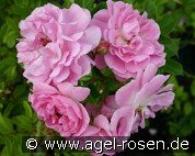 Rosa virginiana (Wild Rose)