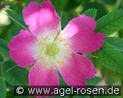 Rosa Carolina (Wildrose)