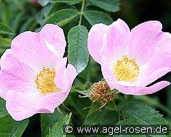 rosa canina wildrose kaufen bei agel rosen. Black Bedroom Furniture Sets. Home Design Ideas