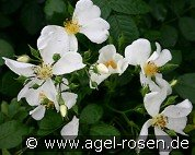 Rosa repens 'Alba' (Wildrose)