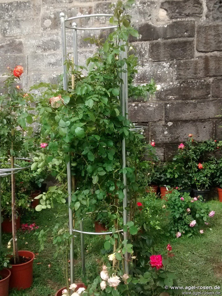 rosenturm 1 (rankhilfe) bei agel rosen online kaufen