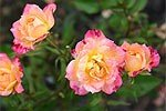 zwergrosen kaufen mehrfarbig moderne rosen. Black Bedroom Furniture Sets. Home Design Ideas