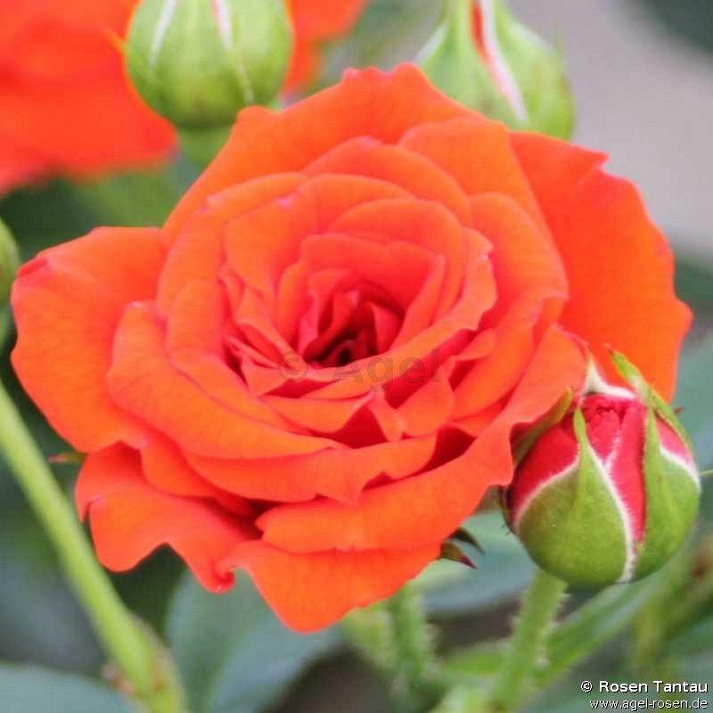 orange babyflor zwergrose kaufen bei agel rosen. Black Bedroom Furniture Sets. Home Design Ideas