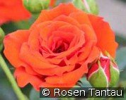 Orange Babyflor (Zwergrose)