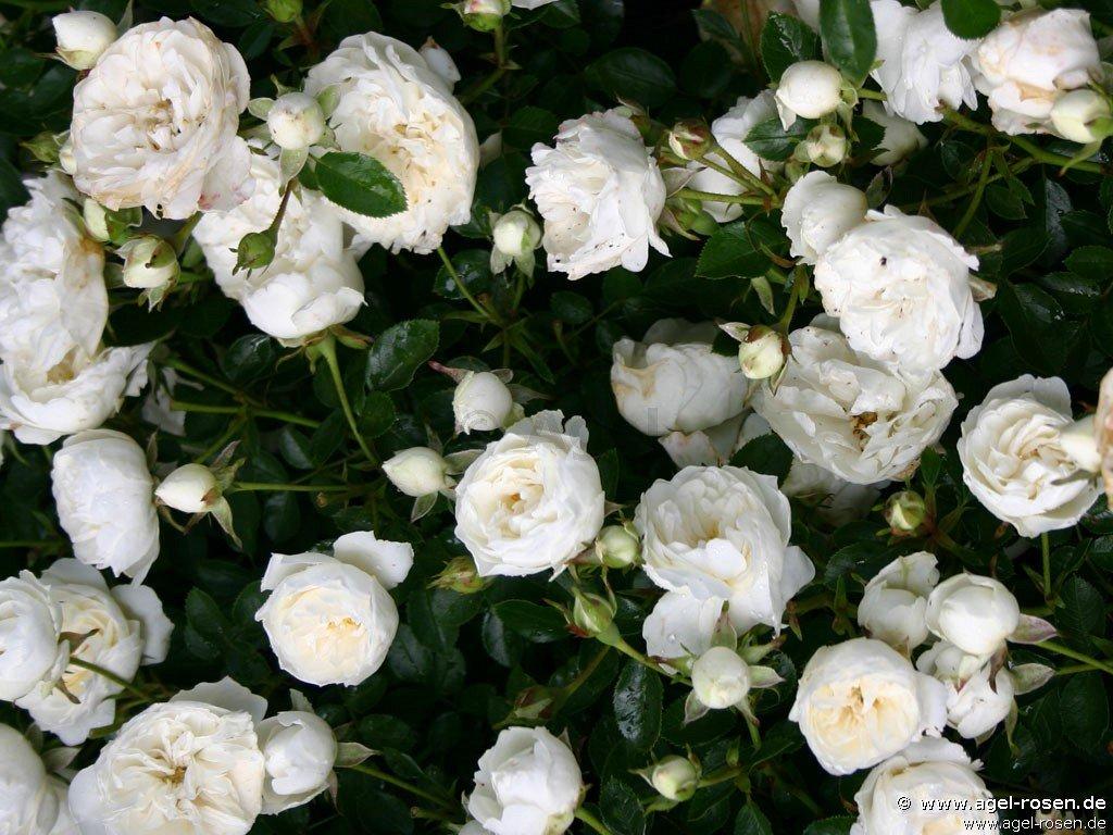 white babyflor zwergrose kaufen bei agel rosen. Black Bedroom Furniture Sets. Home Design Ideas