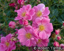 Bienenweide rosa (unknown)