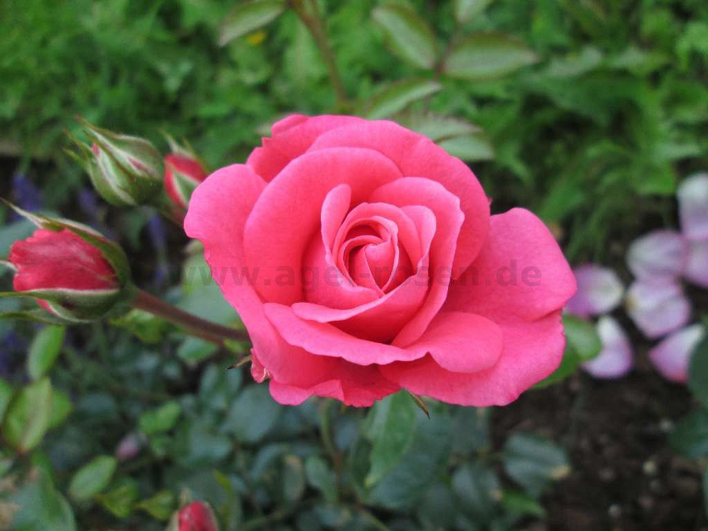 bella rosa beetrose kaufen bei agel rosen. Black Bedroom Furniture Sets. Home Design Ideas