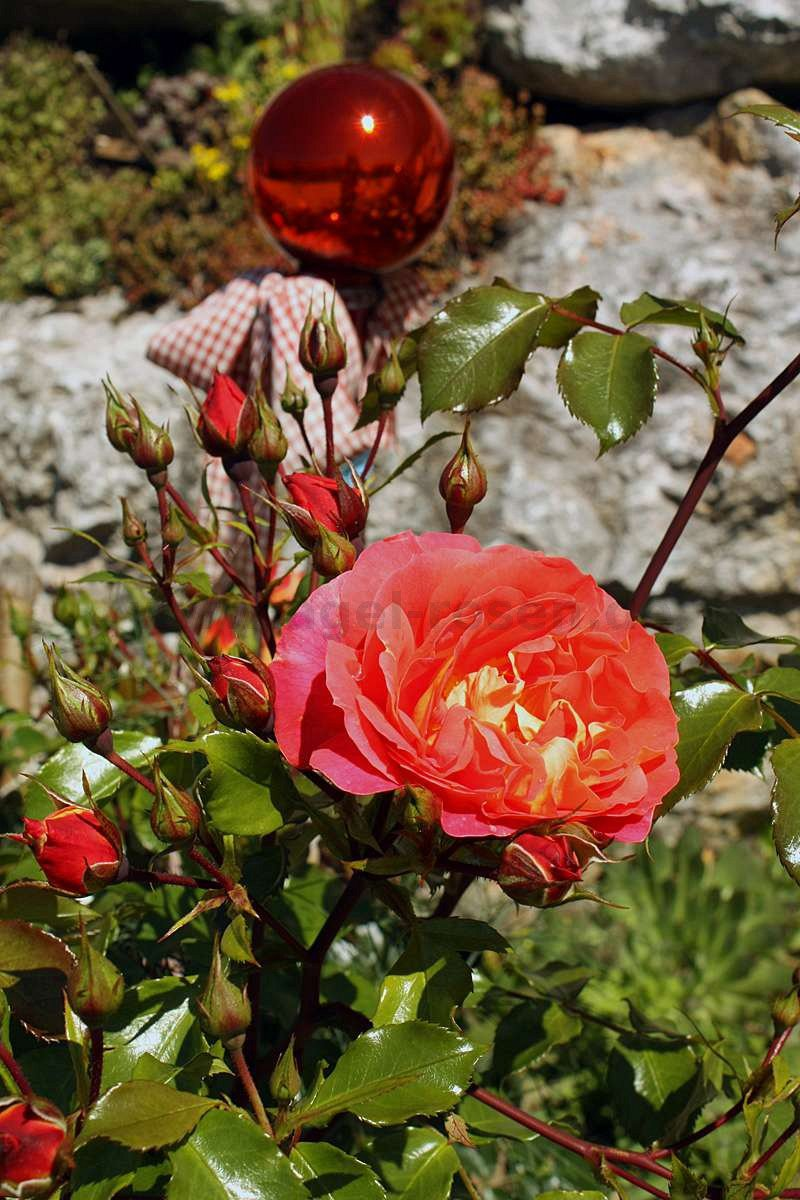 gebr der grimm beetrose kaufen bei agel rosen. Black Bedroom Furniture Sets. Home Design Ideas
