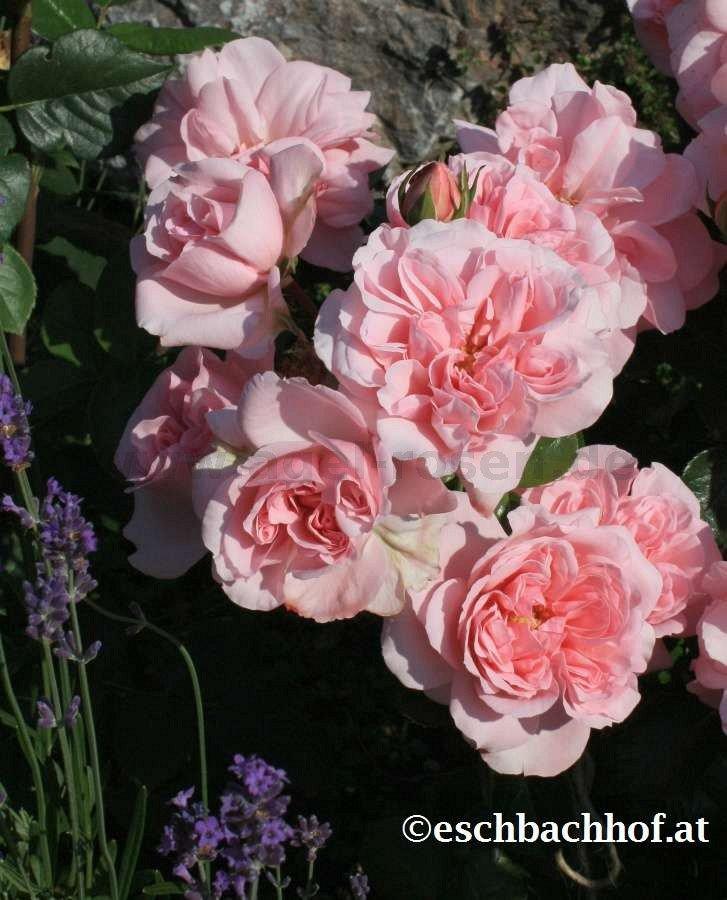 home garden beetrose kaufen bei agel rosen. Black Bedroom Furniture Sets. Home Design Ideas