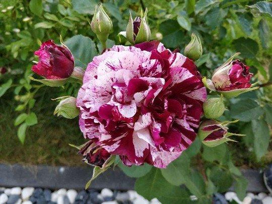 Magdas Rose