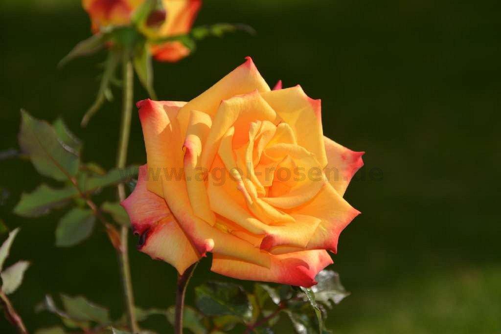 Kleine Rose München