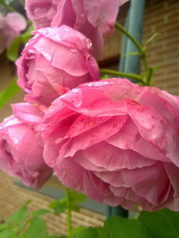 rose louise odier online kaufen agel rosen. Black Bedroom Furniture Sets. Home Design Ideas