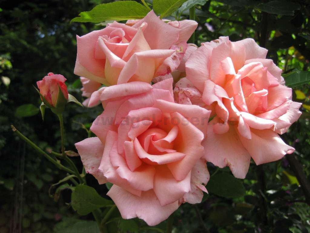 compassion climbing rose buy at agel rosen. Black Bedroom Furniture Sets. Home Design Ideas
