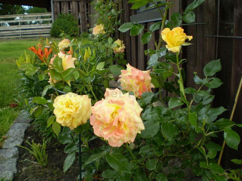 goldfassade climbing rose buy at agel rosen. Black Bedroom Furniture Sets. Home Design Ideas