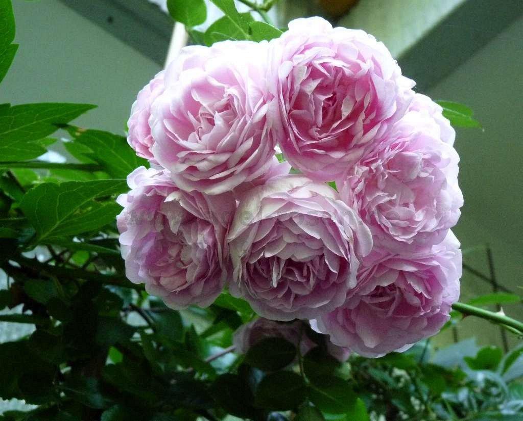 Jasmina ® – Climbing Rose – buy at AGEL ROSEN
