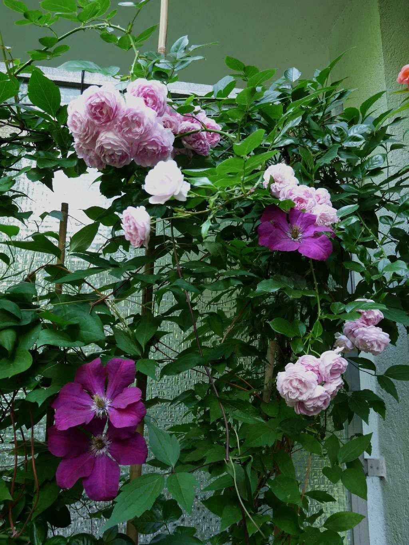 jasmina climbing rose buy at agel rosen. Black Bedroom Furniture Sets. Home Design Ideas