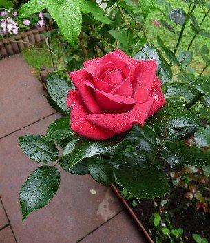 buy rose red flame online at agel rosen 5 liter pot. Black Bedroom Furniture Sets. Home Design Ideas