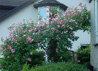 Summer Wine (Climbing Rose)