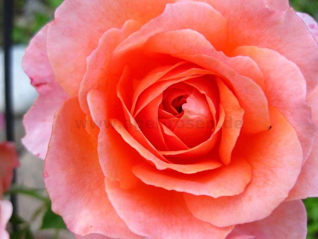 rose albrecht d rer online kaufen agel rosen hochstammrosen 90cm stammrosen. Black Bedroom Furniture Sets. Home Design Ideas