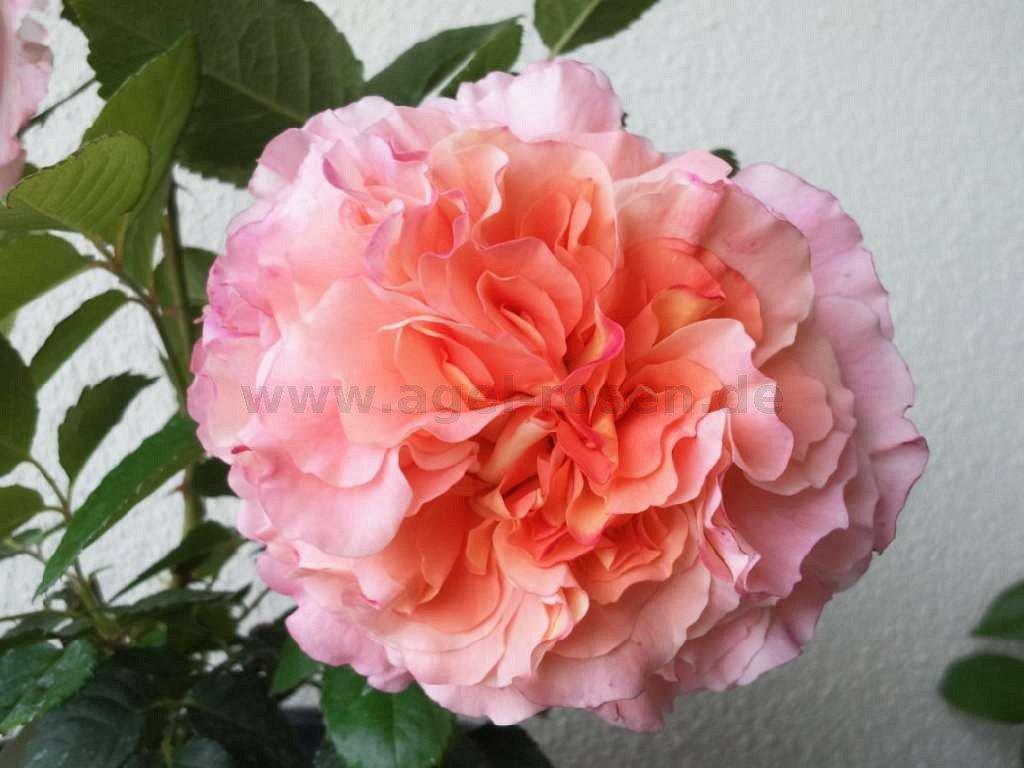 rose augusta luise online kaufen agel rosen. Black Bedroom Furniture Sets. Home Design Ideas