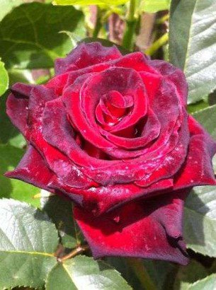 black baccara edelrose kaufen bei agel rosen. Black Bedroom Furniture Sets. Home Design Ideas