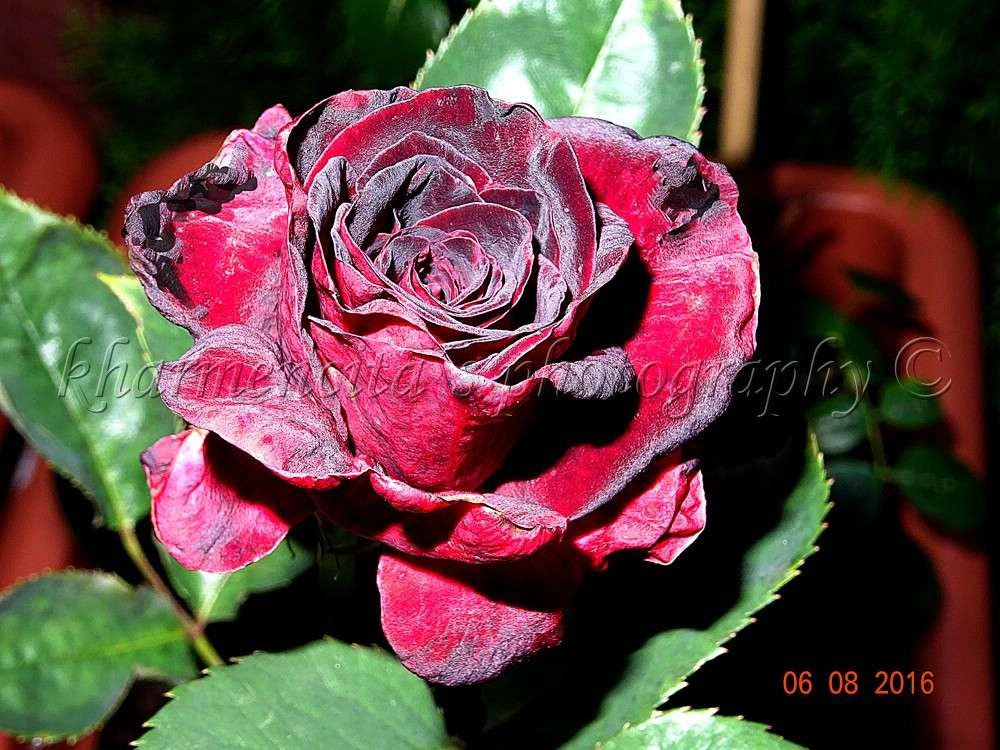 rose black baccara online kaufen agel rosen hochstammrosen 90cm im 5l topf containerrosen. Black Bedroom Furniture Sets. Home Design Ideas