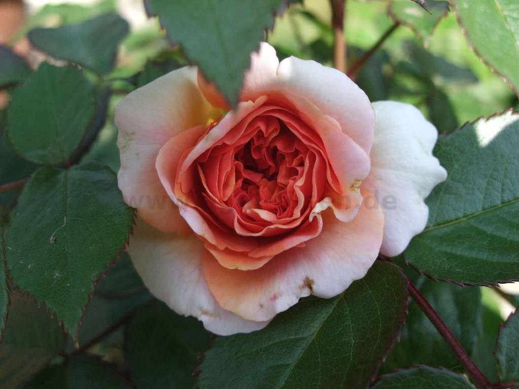 rose chippendale online kaufen agel rosen. Black Bedroom Furniture Sets. Home Design Ideas