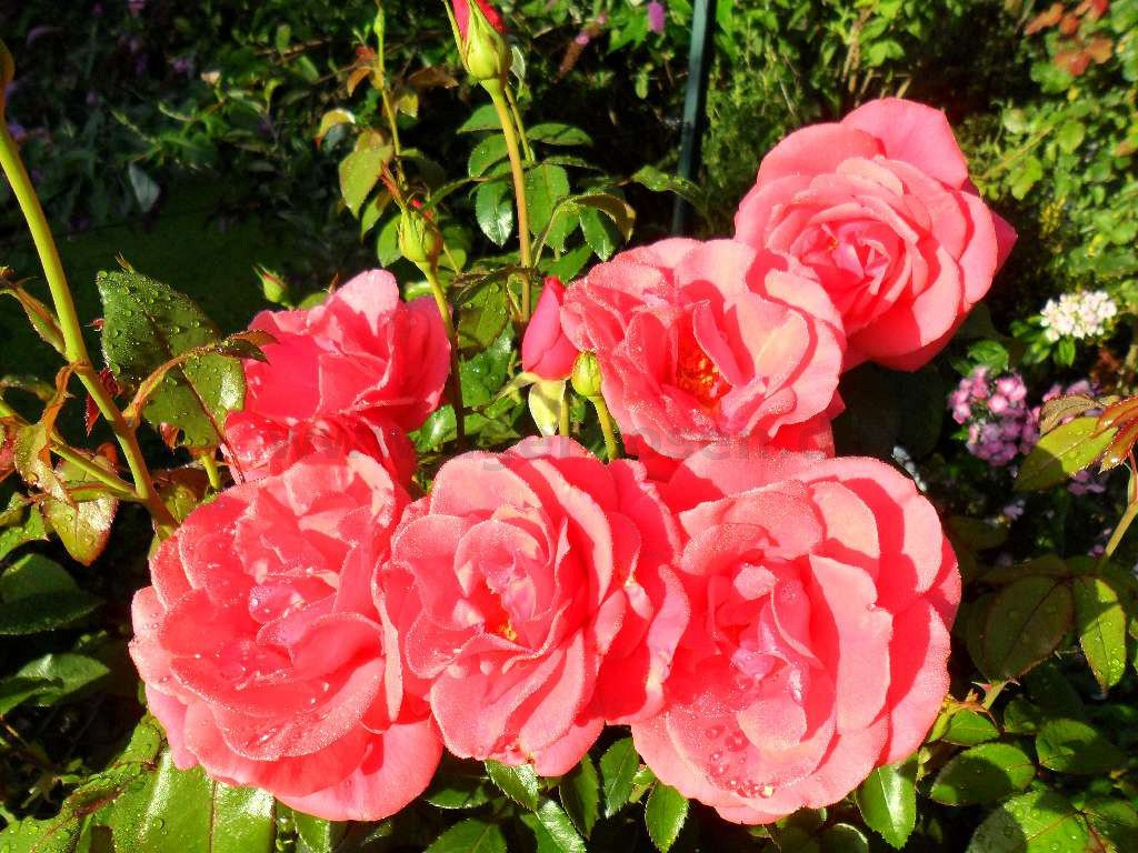 rose focus online kaufen agel rosen hochstammrosen. Black Bedroom Furniture Sets. Home Design Ideas