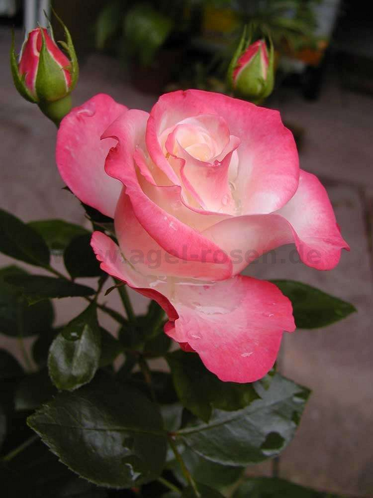 Edelrose Nostalgie® Rosa Nostalgie® cremeweiß mit kirsc Moderne Teehybride
