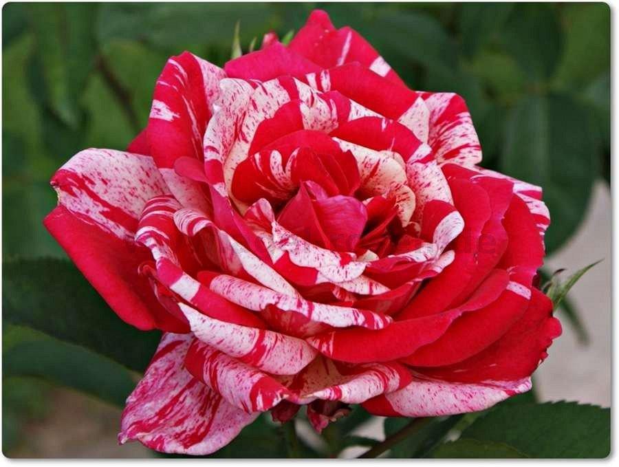 philatelie edelrose kaufen bei agel rosen. Black Bedroom Furniture Sets. Home Design Ideas