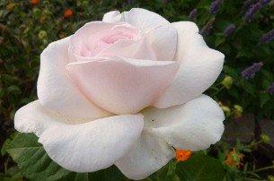 rose schlo ippenburg online kaufen agel rosen. Black Bedroom Furniture Sets. Home Design Ideas