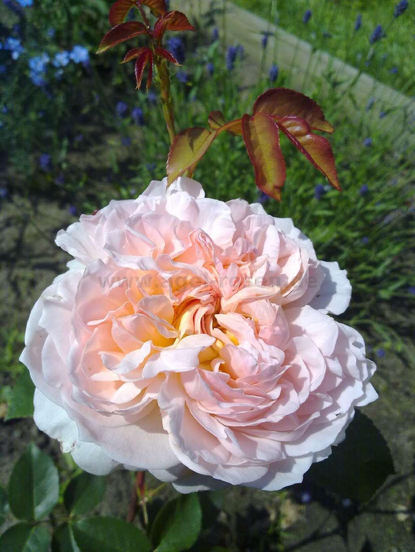 apricot parfait englische rose kaufen bei agel rosen. Black Bedroom Furniture Sets. Home Design Ideas