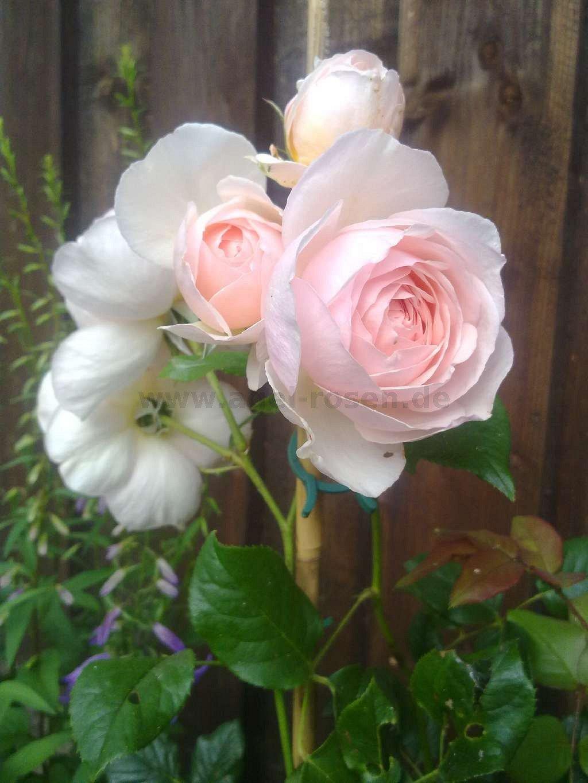 ausblush englische rose kaufen bei agel rosen. Black Bedroom Furniture Sets. Home Design Ideas
