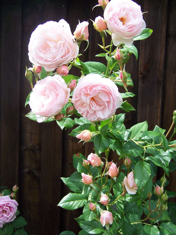 rose ausblush online kaufen agel rosen 6 5 liter topf. Black Bedroom Furniture Sets. Home Design Ideas