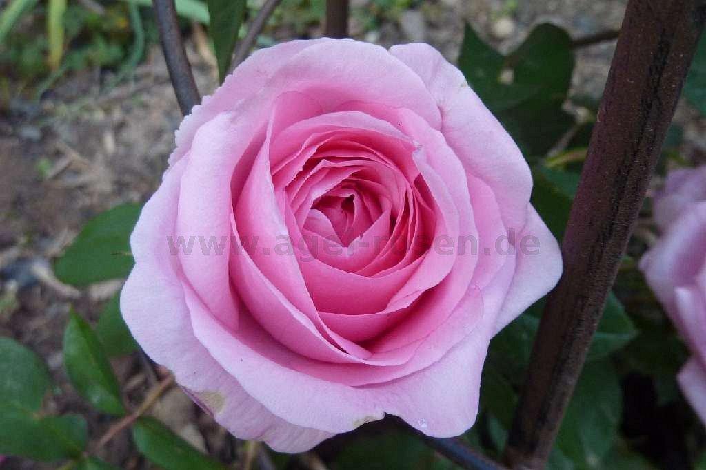 ausbord englische rose kaufen bei agel rosen. Black Bedroom Furniture Sets. Home Design Ideas